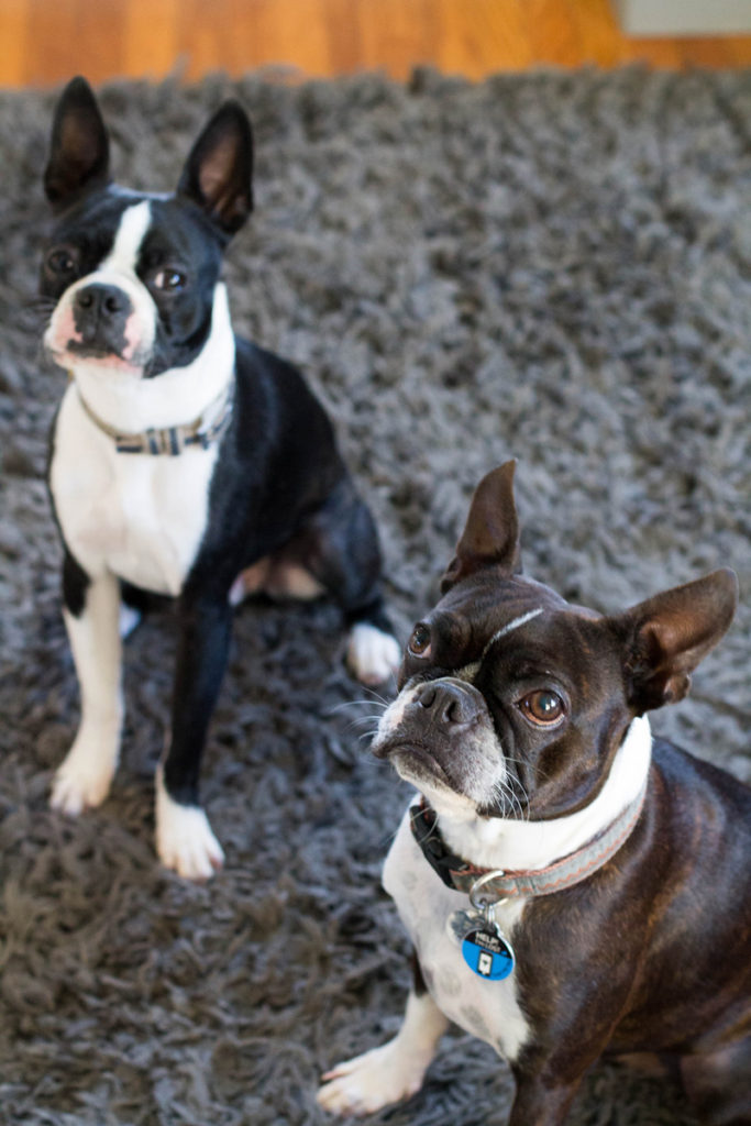 north park bungalow // boston terrier furbabies