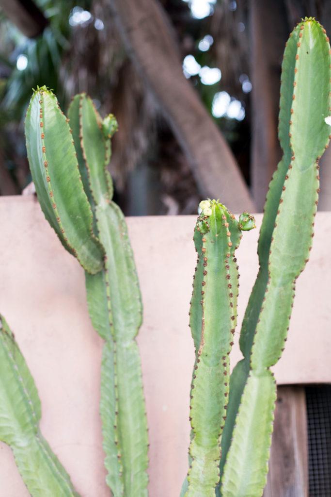 pink-cactus-2