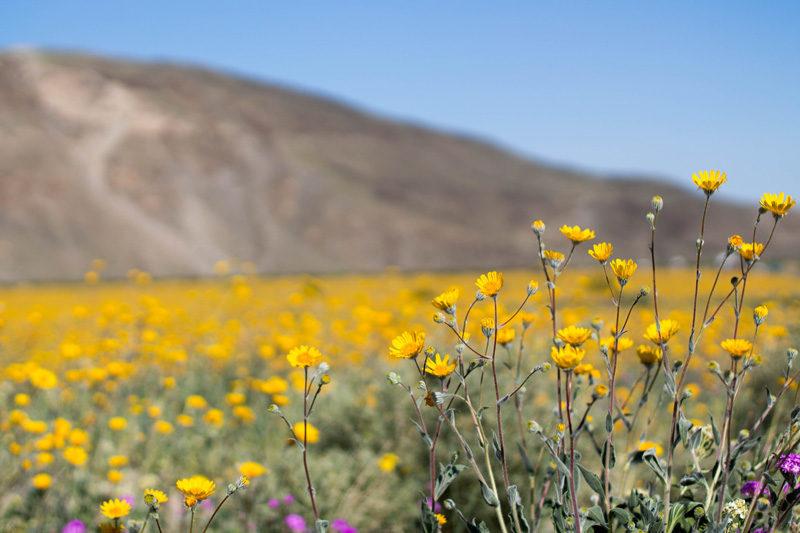 superbloom in anza borrego desert