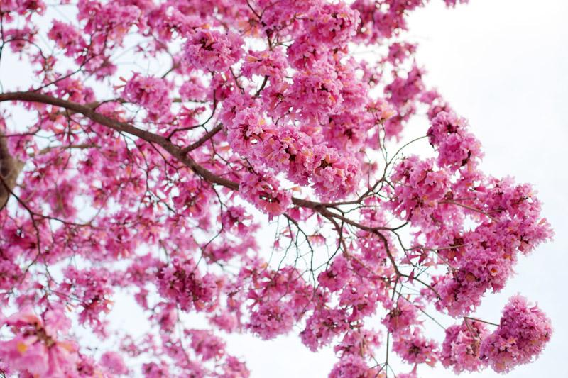 cherry-blossom-5