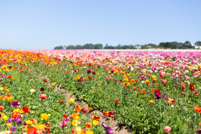 carlsbad flower fields // ranunculus