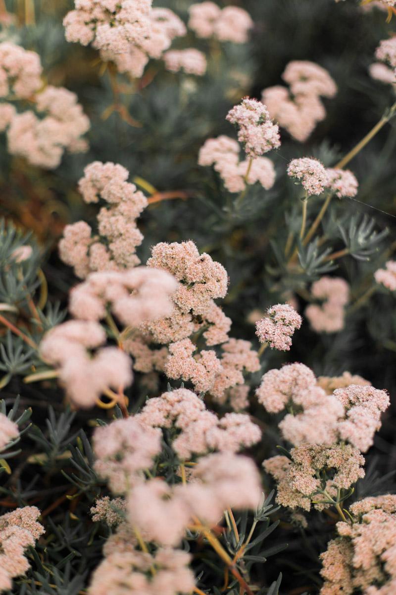 pink-cauliflower-4